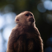 Warm backlit light shines upon the soft fur of a wild Capuchin monkey.