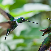 Tom Dempsey photographed this Collared Inca (Coeligena torquata) hummingbird in Bellavista Cloud Forest Reserve, near Quito, Ecuador, South America. This species is found in humid Andean forests from western Venezuela, through Colombia and Ecuador, to Peru.