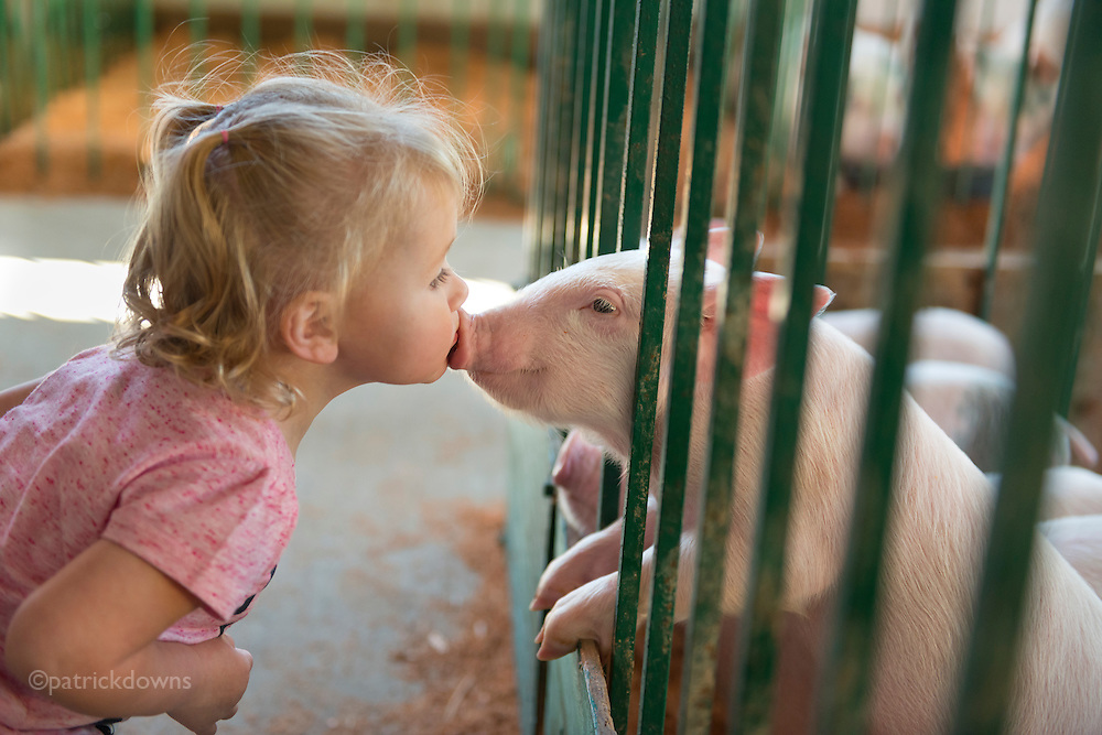 Jasmine, 18 months old, shows a piglet some love at the Clallam County Fair. It seems to be mutual.<br /> <br /> I confess: I'm an animal barn junkie at the county/state fairs. I just love hanging out with the 4-H and FFA kids as they take care of and show their animals. Great life lessons from it for them. I love watching the people interacting and watching the animals too. I'm like a big kid... I spent an hour in the goat barn yesterday. Maybe this falls in the &quot;too cute&quot; category&mdash;okay sometimes&mdash;but I loved watching this little girl go nuts over these 5-week-old piglets, as cute as puppies. She was squealing just like them, and they kept poking their heads out to be petted. The first time she kissed one I missed it, but I got a second chance and nailed it. There really seemed to be something special going on between the two of them (pigs are said to be smarter than dogs, even as smart as 3 year old humans, one 4-H kid told me). &copy;patrickdowns