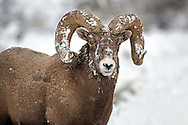 The thick fur of this bighorn ram insulates him from the frigid winters of his Rocky Mountain home. Unlike many other high mountain residents, bighorns are often very active during the most inclement of winter weather conditions.