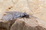 Fishfly (Neohermes concolor) - female<br /> ARKANSAS: Polk Co.<br /> Ouachita National Forest; Rich Mountain off Hwy 18<br /> 1-3.July.2015<br /> J.C. Abbott #2762 &amp; K.K. Abbott