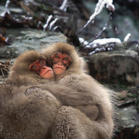 Snow monkey babies hug each other.<br /> <br /> Canvas gallery wrapped print is 18x24&quot;.
