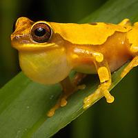 Calling Hourglass Frog, Dendropsophus ebraccatus.