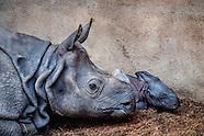 De Rotterdamse dierentuin Blijdorp is een Indische neushoorn rijker.