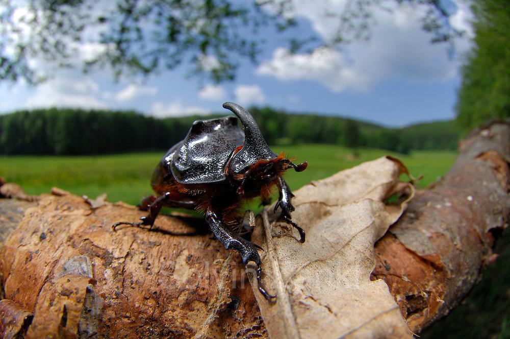 Der Nashornkäfer (Oryctes nasicornis) ist ein Käfer aus der der Familie der Blatthornkäfer (Scarabaeidae). Hier ein Maennchen | Rhinoceros beetle (Oryctes nasicornis)