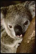 04: KOALAS YOUNG, ETC