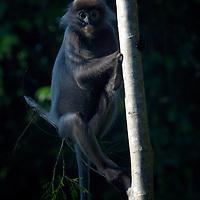 Phayre's Leaf Monkey (Trachypithecus phayrei), also known as Phayre's Langur, at Phu Khieo, Thailand.