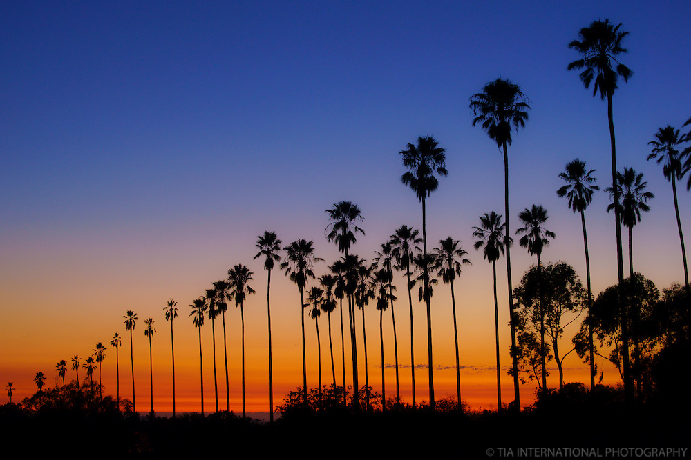 Palm Trees @ Sunset, Elysian Fields, Los Angeles