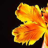 Parrot Tulip-862