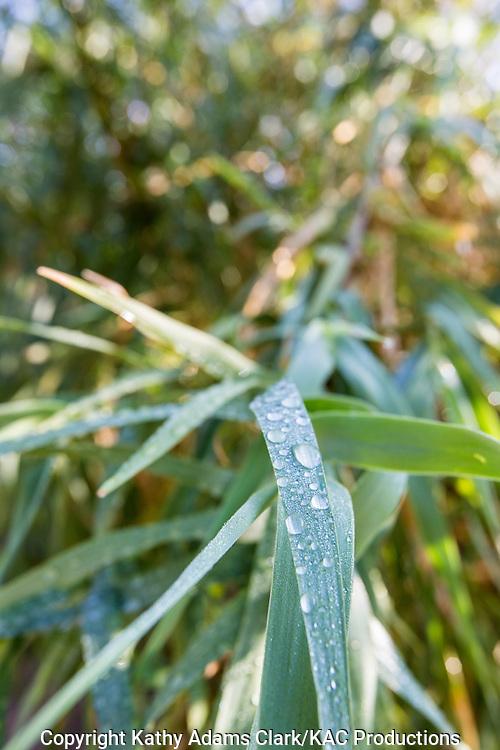 Raindrops or water drops on vegetation at the Santa Elena Canyon trail at Big Bend National Park, Texas in late summer.