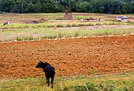 Farm scene in Pinar del Rio, Cuba. A row of birds is eating in the freshly tilled soil. A tethered cow looks on. In the background is a pile of logs ready to make charcoal.