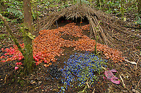 Bower of Vogelkopf Bowerbird (Amblyornis inornatus) with his decorations..