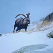 Gredos Spanish Ibex (Capra pyrenaica victoriae).Sierra de Gredos.SPAIN