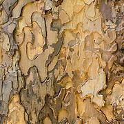 Tree bark pattern. Ingalls Creek Trail, Wenatchee National Forest, between Leavenworth and Blewett Pass, in Washington, USA.