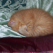 Manx Kitten, the Sleep of the Innocent..