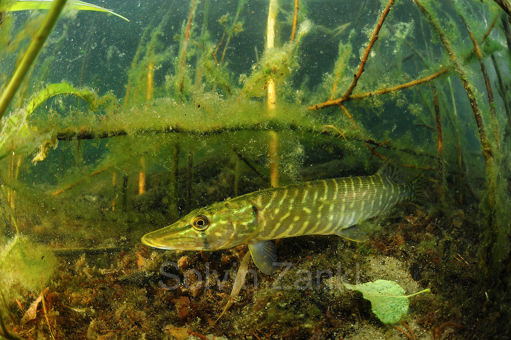Hecht (Esox lucius)  - Stechlinsee