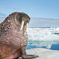 Canada, Nunavut Territory, Repulse Bay, Walrus (Odobenus rosmarus) resting on ice floe in Frozen Strait near White Island along Hudson Bay