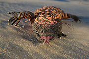 Gila Monster (Heloderma suspectum)<br /> The Orianne Society - CAPTIVE<br /> USA<br /> Range &amp; Habitat Native to sw USA and Mexico's Senora state where they live in scrubland, succulent desert and oak woodland.