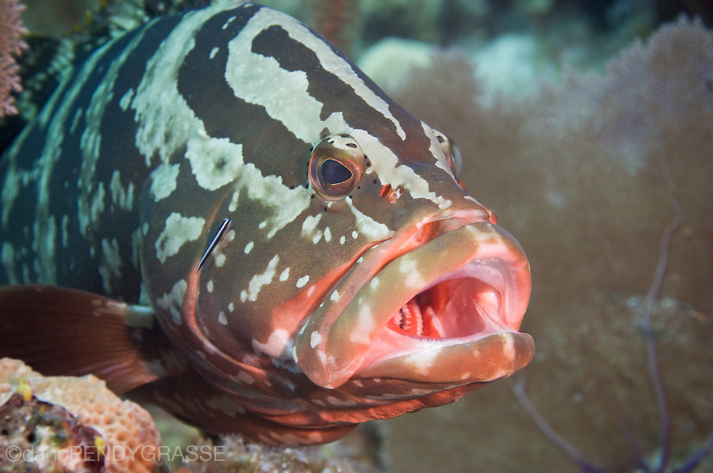 A Nassau Grouper gets a cleaning
