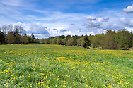 Dandelions (Taraxacum officinale) blooming in spring near McLean Pond at Campbell Valley Park in Langley, British Columbia, Canada