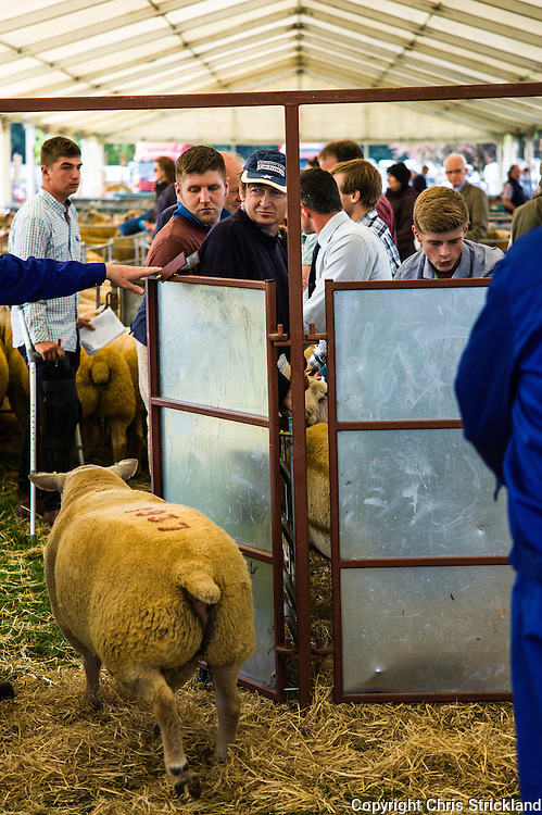 Springwood Park, Kelso, Scottish Borders, UK. 11th September 2015. 5,689 rams were auctioned at the largest single day Tup sale in the world.