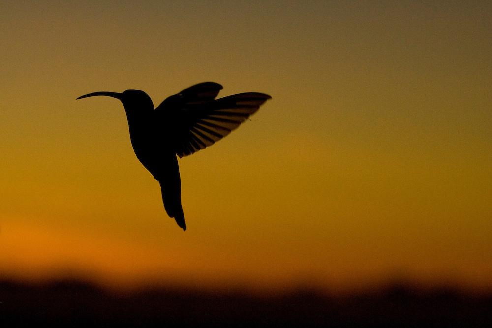 A hummingbird in flight in Serra Bonita, Bahia, Brazil