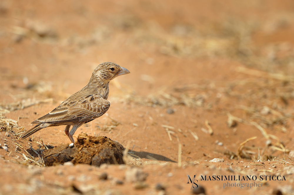 The Grey-backed Sparrow-Lark (Eremopterix verticalis) is a species of lark in the Alaudidae family. It is found in Angola, Botswana, Democratic Republic of the Congo, Lesotho, Namibia, South Africa, Zambia, and Zimbabwe. Its natural habitats are subtropical or tropical dry shrubland and subtropical or tropical dry lowland grassland.