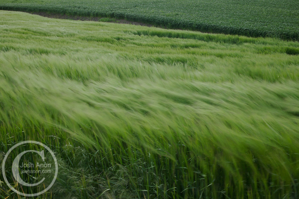 Rows of wheat blow gently in the wind in the Palouse area, Washington.