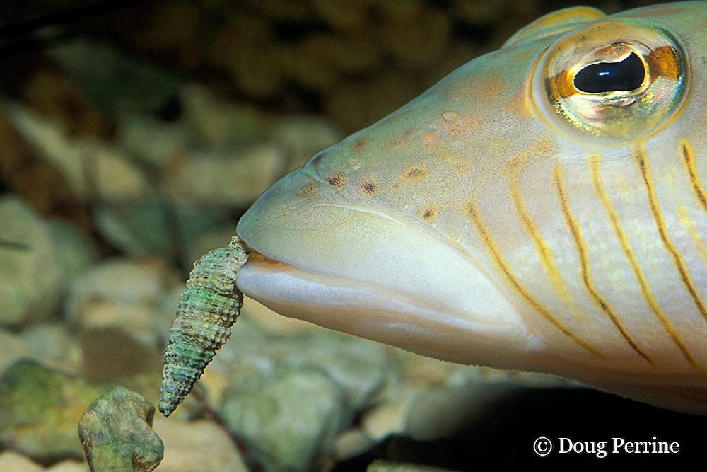 speckled sandperch, Parapercis hexophthalma (c), eating hermit crab, Thailand