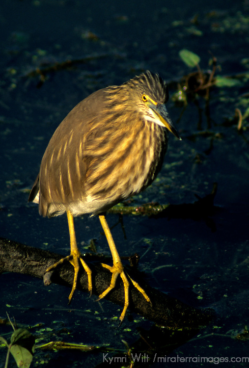 Asia, India, Bharaptur. Indian Pond Heron or Paddybird.