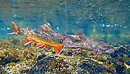 Pair of Spawning Brook Trout<br />