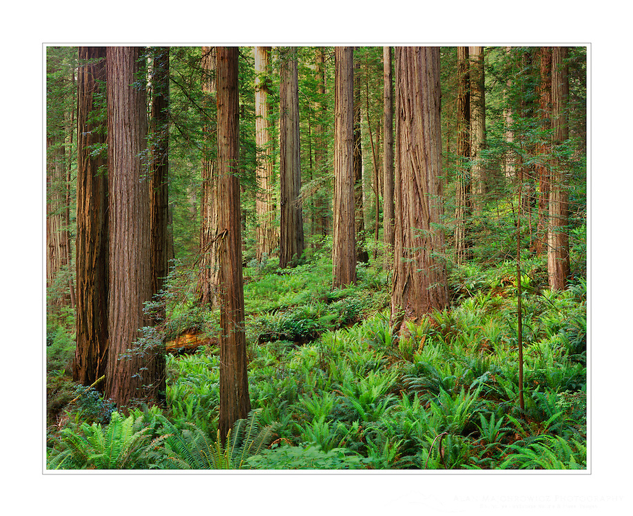 Redwood Forest, Prairie Creek Redwoods State Park California USA