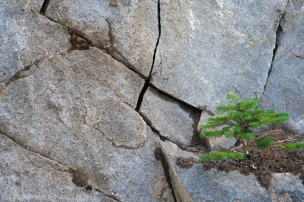 A subalpine fir grows on a bit of accumulated dirt on a cracked rock face in Mount Rainier National Park, WA, USA