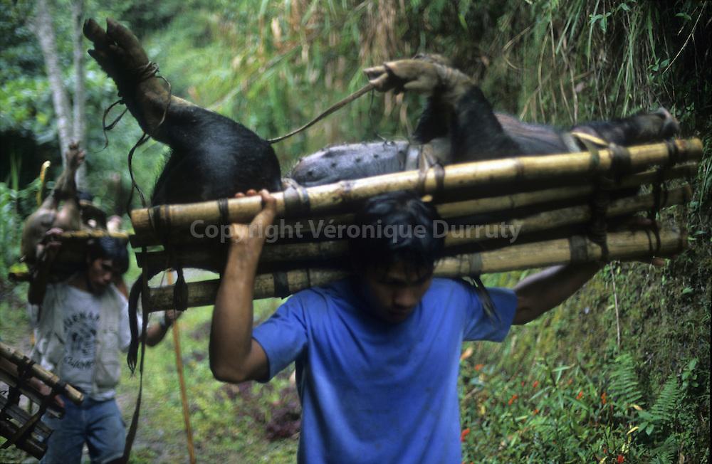 IFUGAO MEN HOLDING  PIGS ON A PATH. IT WILL BE SACRIFIED FOR THE FEATS OF THE END OF THE YEAR, BATAD VILLAGE REGION, CORDILLERA, NORTH LUZON, THE PHILIPPINES // adolescents de l 'ethnie Ifugao transportant un porc vivant sur ces epaules, une journée de marche dans les chemins de monta gnepour rejoindre son village. il sera sacrifié pour les fêtes de fin d'année. Région de Batad, Cordilliere, ile de Luzon, Philippines
