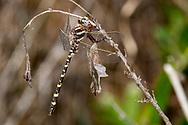 Sarracenia Spiketail (Cordulegaster sarracenia) - male<br /> LOUISIANA: Natchitoches Parish<br /> Middle Branch Bog; Kisatchie Ranger District of Kisatchie National Forest<br /> 6-April-2012<br /> J.C. Abbott #2574 &amp; K.K. Abbott