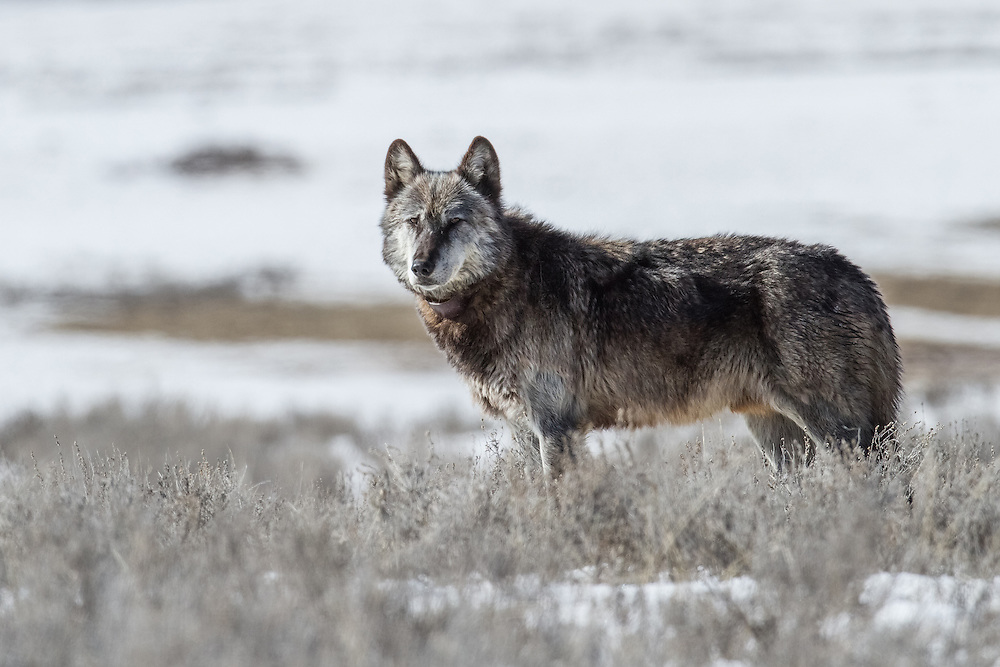 Distinguished and graying with age, 712M, the alpha male of Yellowstone's famed Canyon Pack, surveys his pack's domain in Hayden Valley.