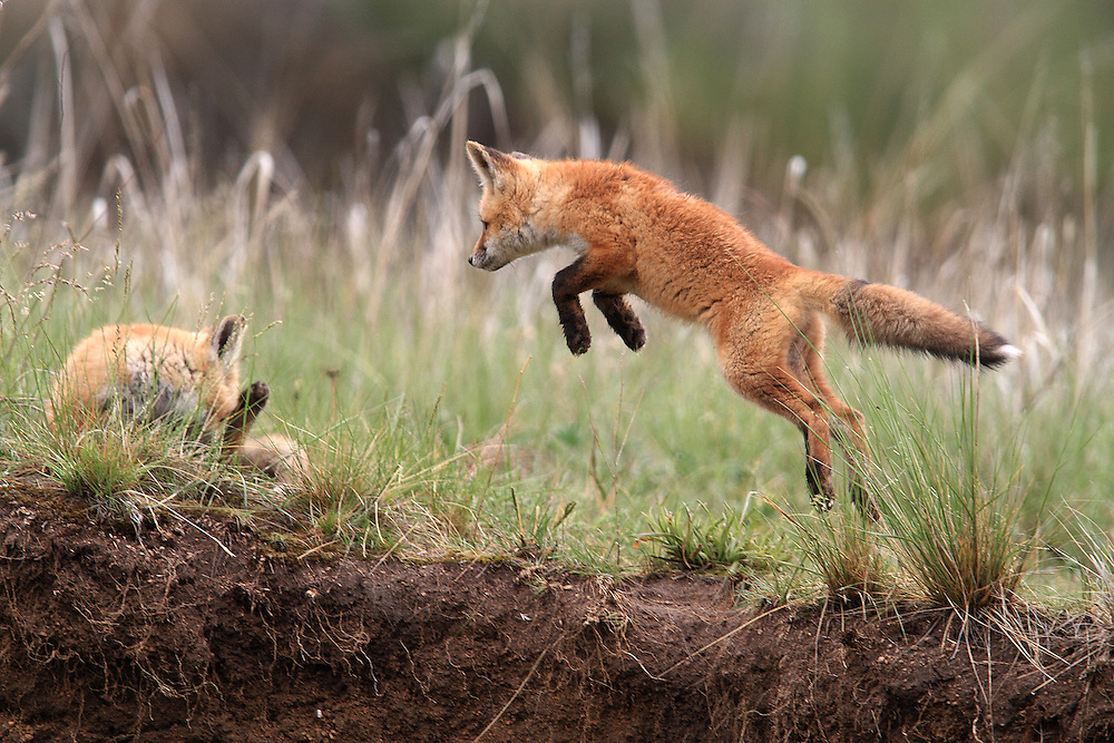 Fox Pups Playing