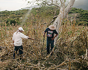 Miguel and a family member search a corn field near the site of there PGR forensic teams are investigating possible gravesites.