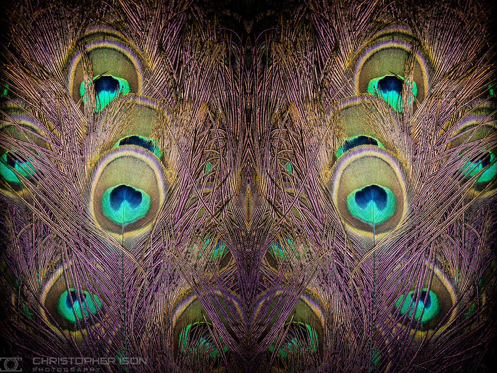 Ongoing personal project - Pierre the Peacock.<br /> Picture date: Tuesday March 14, 2017.<br /> Photograph by Christopher Ison &copy;<br /> 07544044177<br /> chris@christopherison.com<br /> www.christopherison.com
