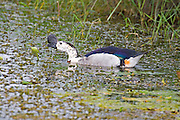 Comb Duck.Sarkidiornis melanotos.AKA Knob-billed Duck.male.Mauricedale Game Reserve.near Malelane,.Mpumalanga Province,.South Africa.20 January 2006