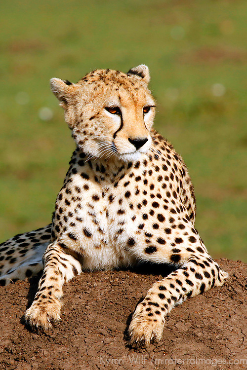 Africa, Keny, Maasai Mara. Cheetah of the Mara.