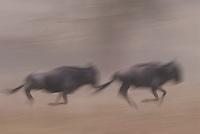 Running wildebeest in the Serengeti