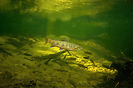 Brook Trout<br />