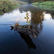 A tree sprouts on a stump in the middle of North Creek in Bothell, Washington.