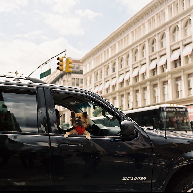 NEW YORK, NEW YORK - 2010. Dog in a car.