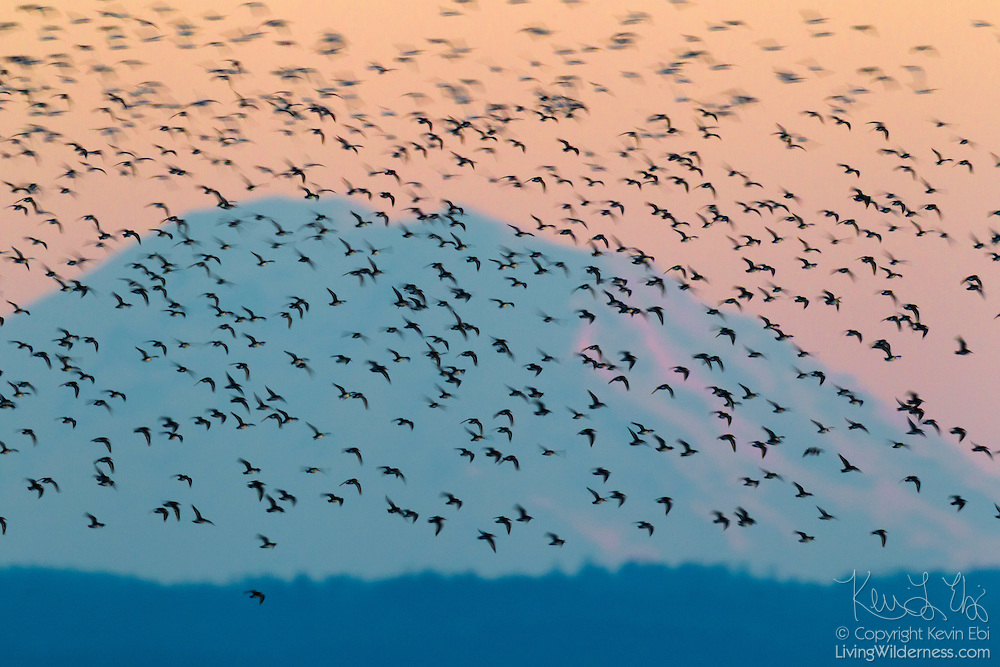 Thousands of Western Sandpipers (Calidris mauri) fly over Skagit Bay, Washington. Mount Rainier, at 14,411 feet (4,392 meters), is the tallest mountain in Washington state.