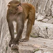 Monkey at Pashupati, Kathmandu, Nepal