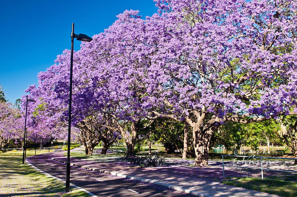 Flowering jacaranda trees, Brisbane, Queensland, Australia
