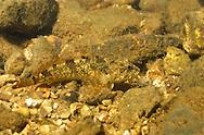 Banded Sculpin, Roaring River, Missouri<br /> <br /> ENGBRETSON UNDERWATER PHOTO