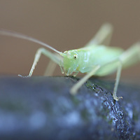 A Mantis makes his way up a small fence post.